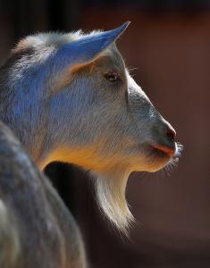 Goat_Bill Gracey