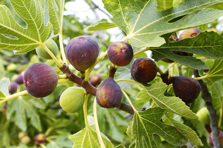Figs - on tree