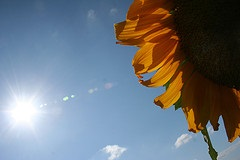 Sun and sunflower_Nick Booth