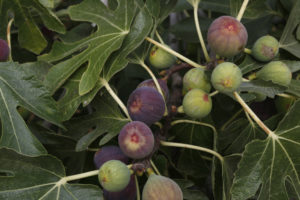 Figs on tree 300x200 - Figs. So Much More Than The Classic Fig Newton™ Cookie