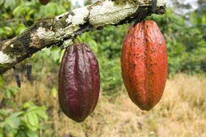 Fresh cocoa pods handing from a tree - by Doug Cook RD