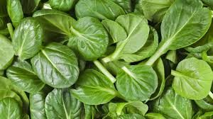 Fresh raw spinach leaves laid out