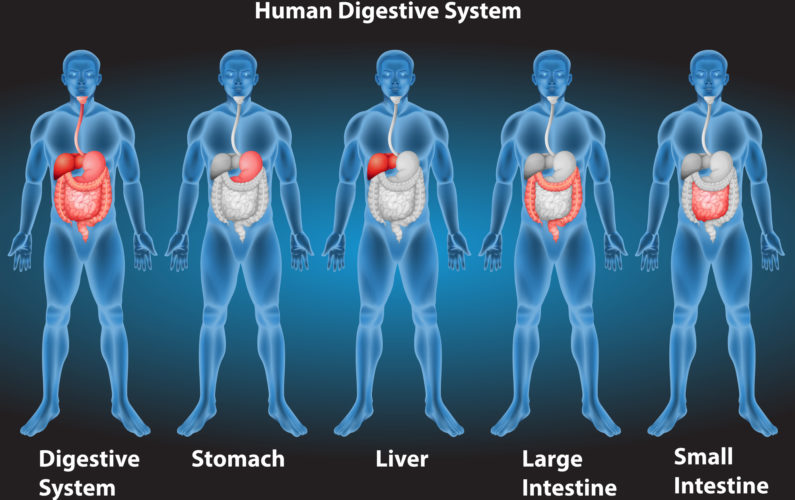 Xrays of human digestive system