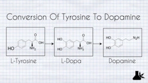 The conversion of tyrosine to the neurotransmitter dopamine