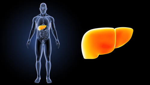Human liver and location in the body - by Doug Cook RD