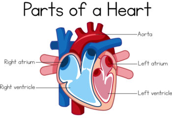 Parts of heart diagram showing the four chambers - by Doug Cook RD