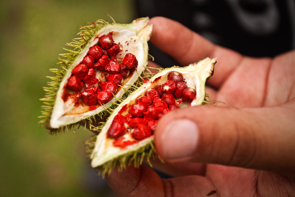 Annatto seeds in the seed pod of the annatto plant used to make tocotrienol supplements