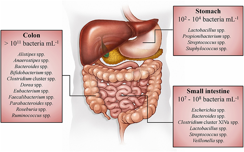 GI bacterial distribution - What Is SIBO? Is It Giving You Digestive Woes?