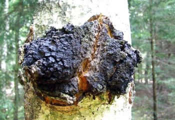 Chaga Mushroom growing on a birch tree