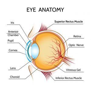 Basic Eye Anatomy 300x300 - Best Foods To Improve Eyesight